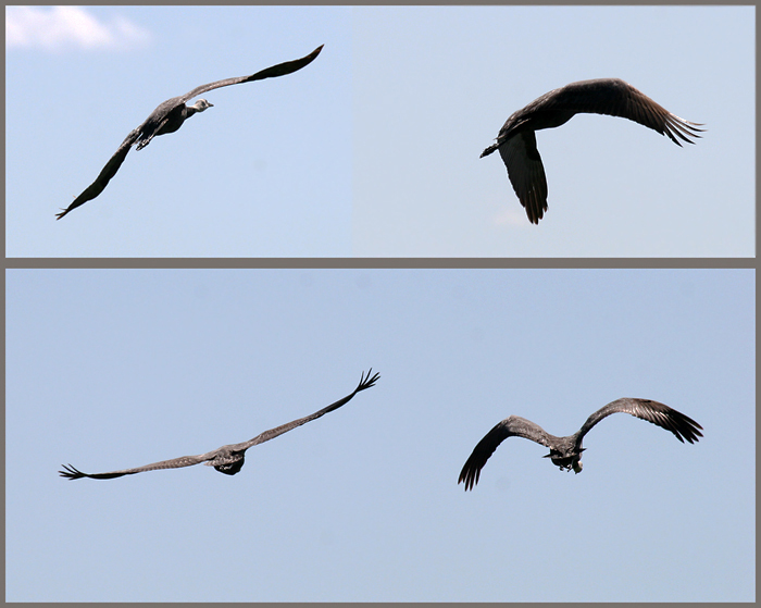 Черные журавли в полёте