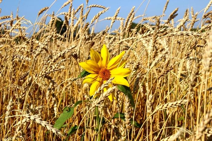Солнце в пшенице)