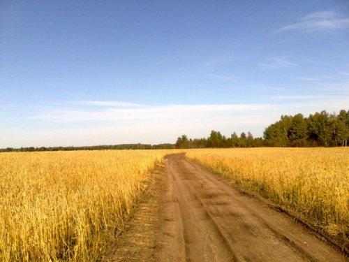 Дорога на пшеничном поле. п. Новочернореченский. Козульский р-он.