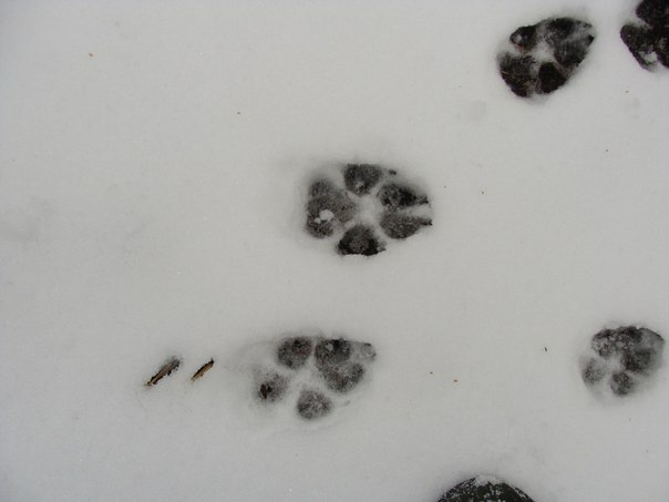 самом след волка на снегу фото фото декоративные