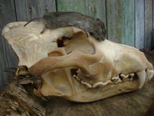 Трофейный череп Волка и Серая полевка....