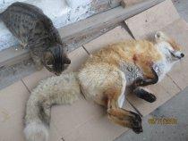 Лис и Кот