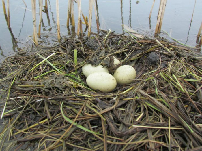 гнездо Черношейной поганки (Podiceps nigricollis Brehm, 1831)