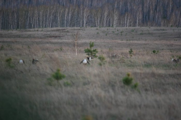Тетеревинный ток (Минусинский район) 3.05.2013