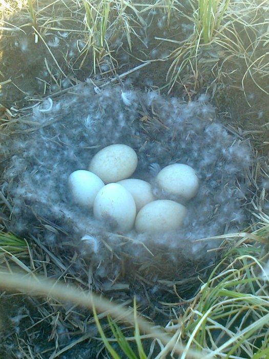 гнездо дикого гуся