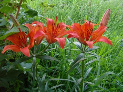 Сардаана - цветок, воспетый в песнях саха