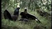 Golden Eagle Attack Нападение орла на токующих глухарей