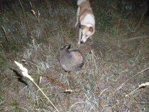 Ночная охота Белки на барсука.