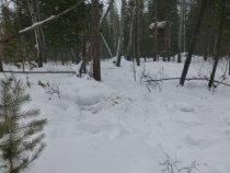 Всю зиму лоси посещают этот солонец.