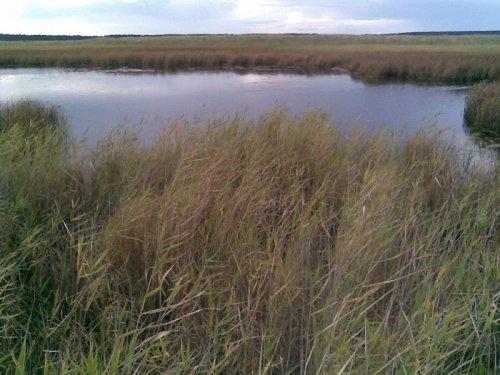 Кормовая болотинка