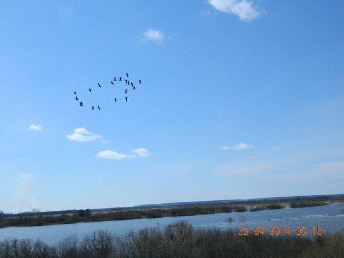 Гуси над Спасским озером за три дня до открытия охоты.