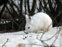 Апрельские зайцы