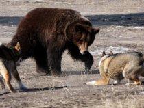 Противостояние. Притравливание лаек. Якутск