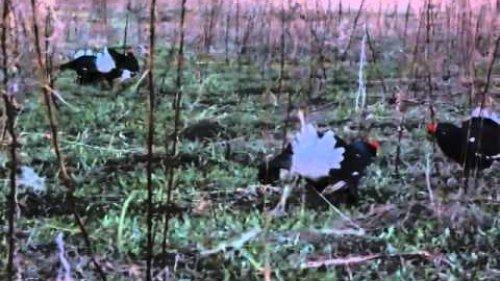 Весна краснобровых птиц.