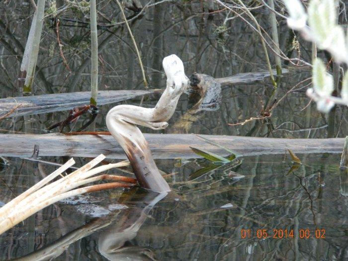 Коряги Спасского озера