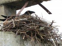 гнездо вОрона