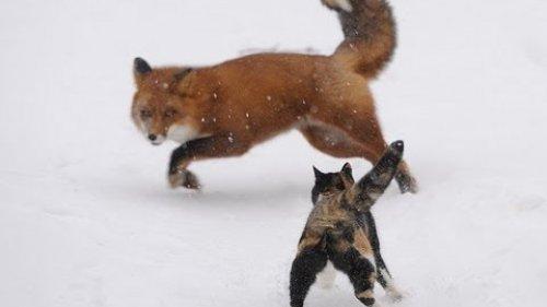 Неожиданная встреча кота и лисы!!!!