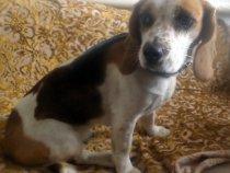 п.Новостроика рядом с п.Пугачи была найдена сука Бигль.с синим брезентовом ошейником.Вернем только хозяевам с доказательствами что она их собачка(фото собаки).Возраст примерно старше 2 лет.