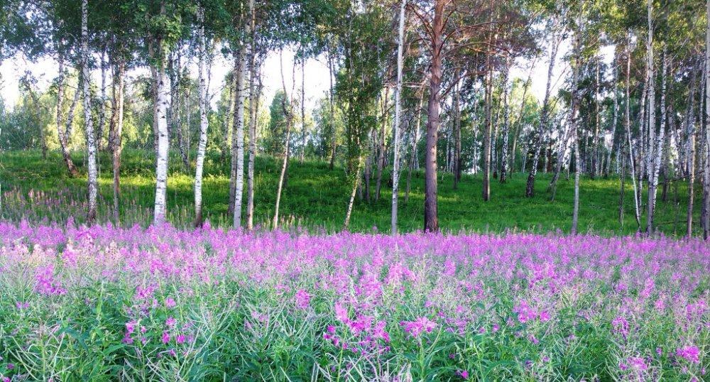 Русский чай в цвету