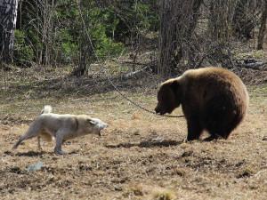 Новые правила охоты и тренировка собак - 2