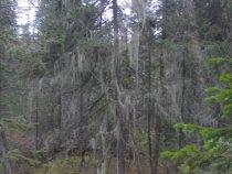 дерево мох.