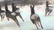 Миграция сибирской косули