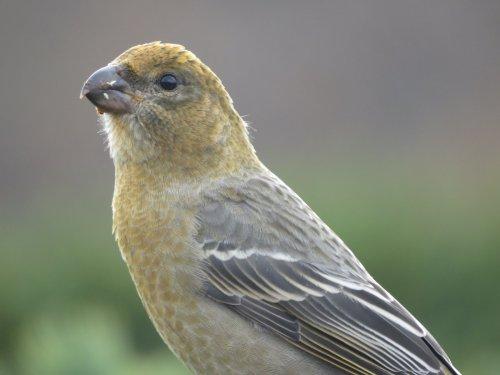 Щур (Финский попугай)