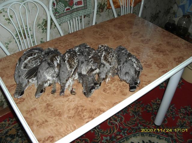 Удачная охота на рябчика