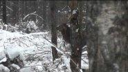 Рёв пятнистого оленя