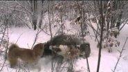 Охота  с лайками на кабана