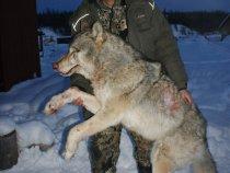 Вот он - волк