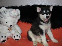 Мои щенки Аляскинского маламута