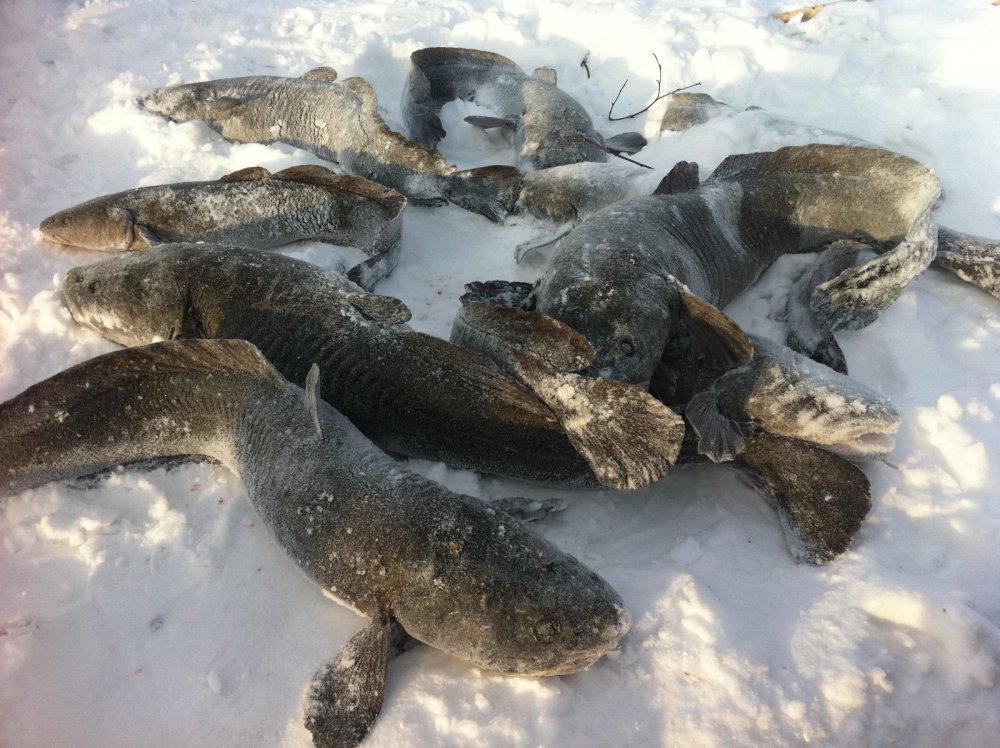 Зимняя ловля налима на стукалку и жерлицы