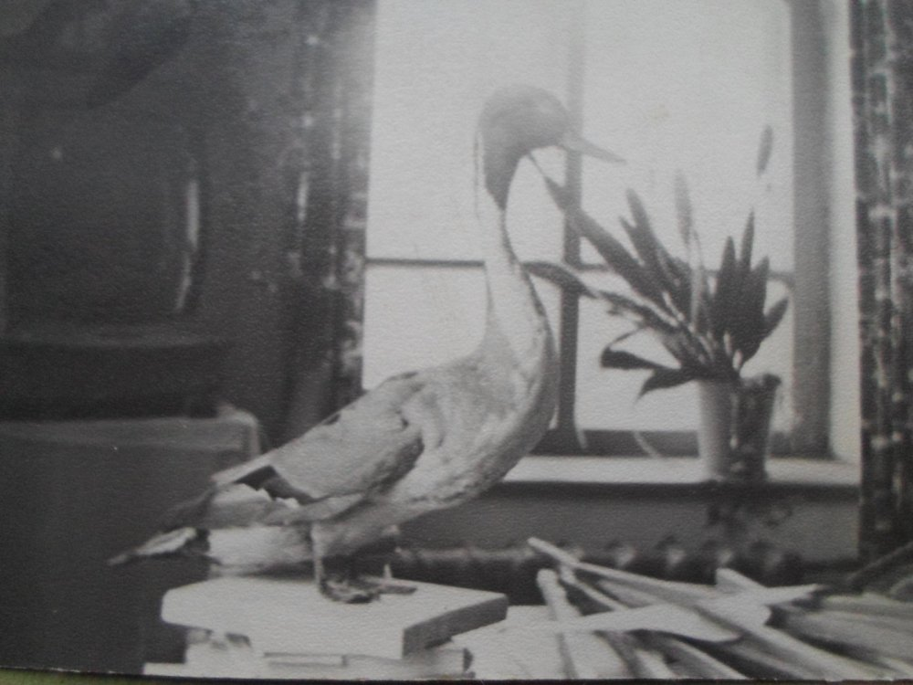 Селезень шилохвостя. 1972 год.