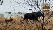 Идеальная собака на лося и кабана. Шведский вариант.