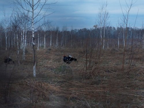 Весна, тетерев, Мошковский ( + фото и видео с тока)