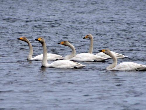 Лебеди.Сахалин