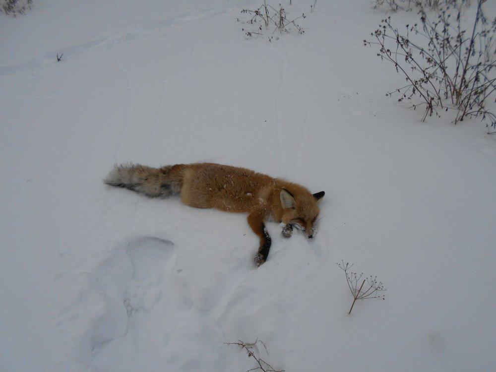 Симпатичный лис