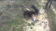 Fox hunting dog reward