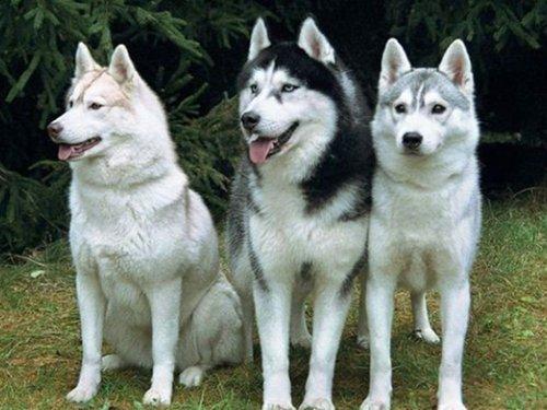 Собака на кабана: выбор, натаска, охота