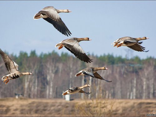 Охота на гусей осенью