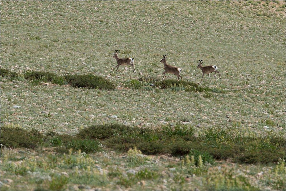 Антилопы (Зап.Тибет)