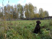 """ИС """"Старососедово""""  испытания собак охотничьих пород по вольерному барсуку.Атила оф Наслука Д II"""