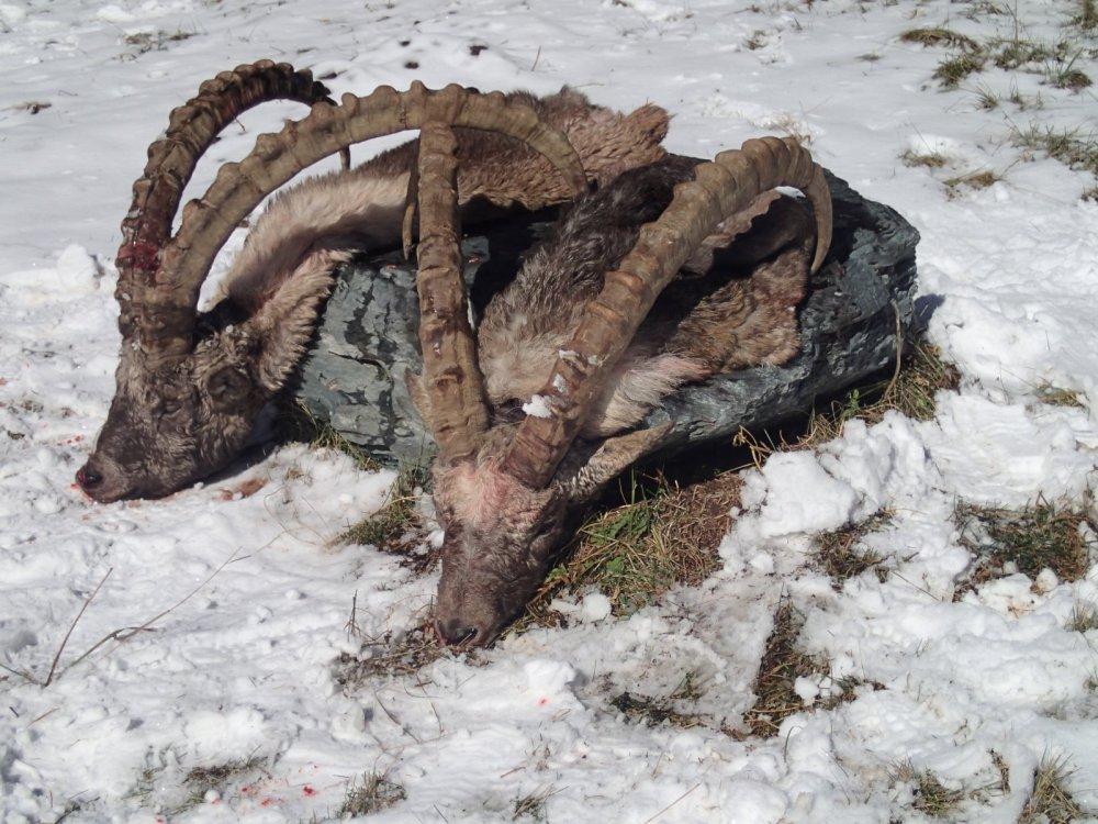 Алтайские козероги