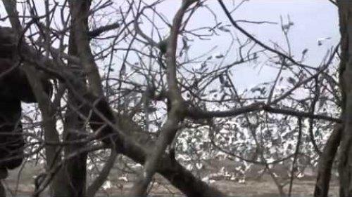Охота на гуся, шокирующие кадры
