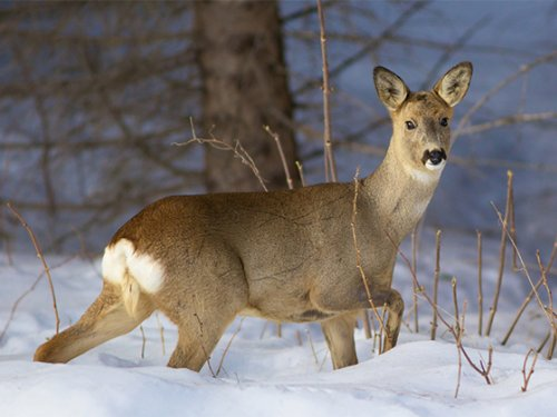 Охота на косулю зимой скрадом