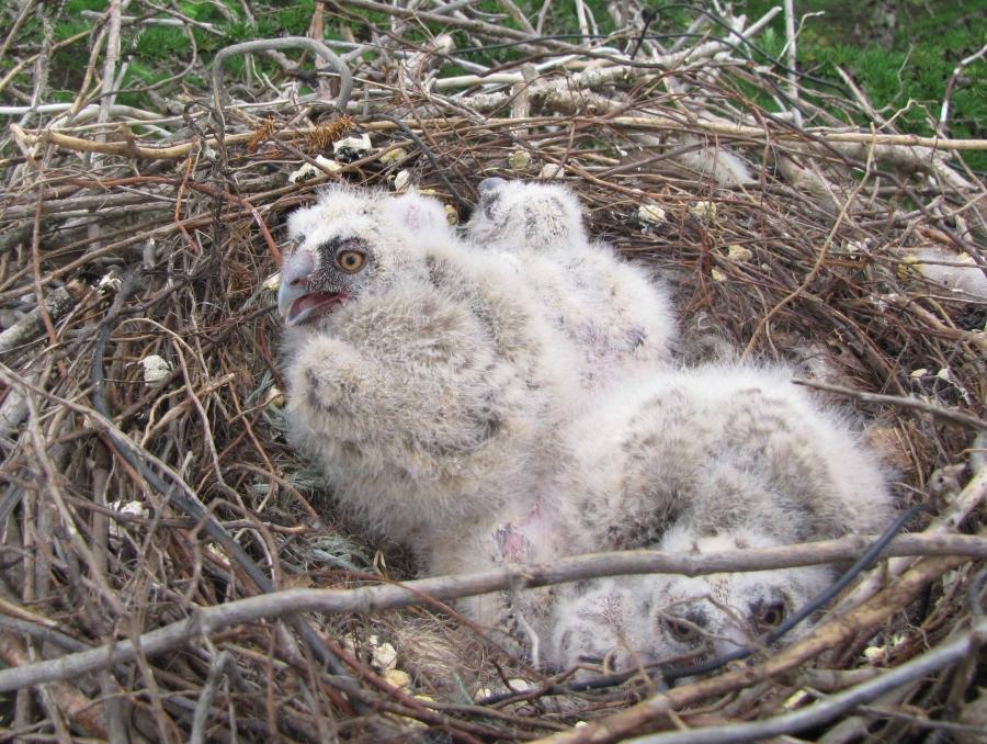 Гнездо ушастой совы