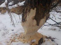 Бобрик на зиму лес готовит)