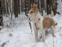 Первый снег (4-мес.щенок ЗСЛ)