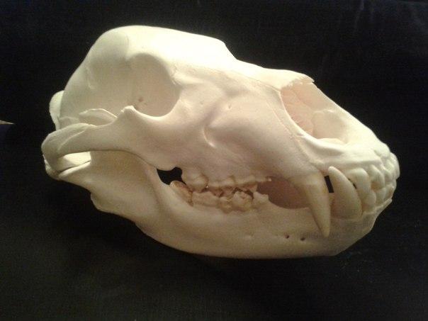 Трофейный череп медведя